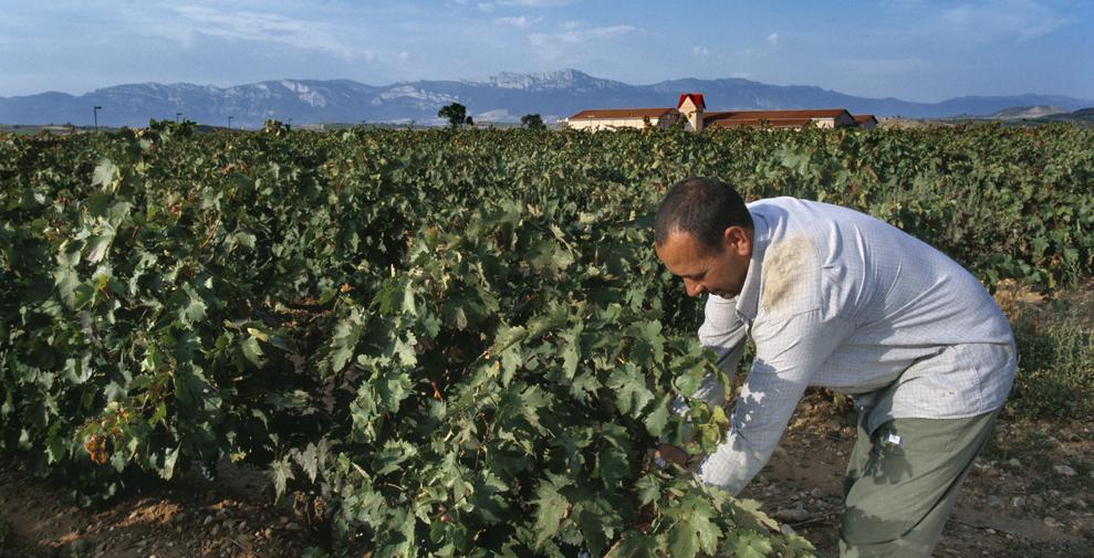 La vendimia en Rioja: vinos testigos de la añada