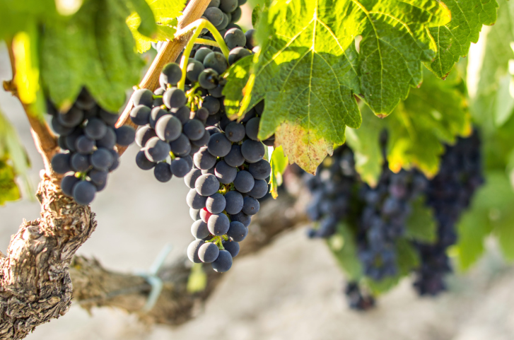 Variedades de uva: apuntes sobre el tempranillo (I)