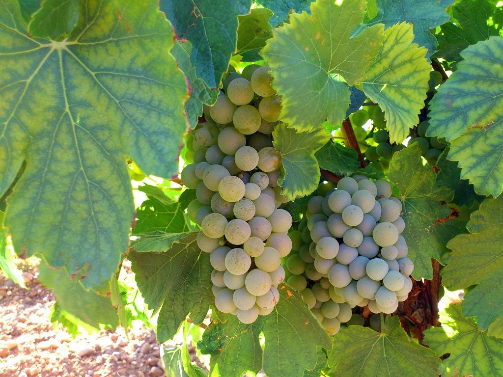Variedades de uva: apuntes sobre el verdejo (II)