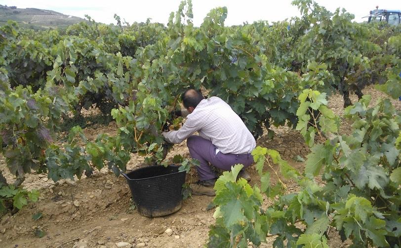 Vendimia en Rioja: temprana y excelente