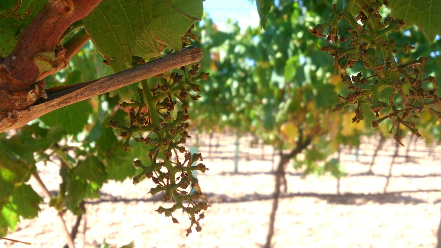 Finca Montepedroso: the grapes are now in the winery
