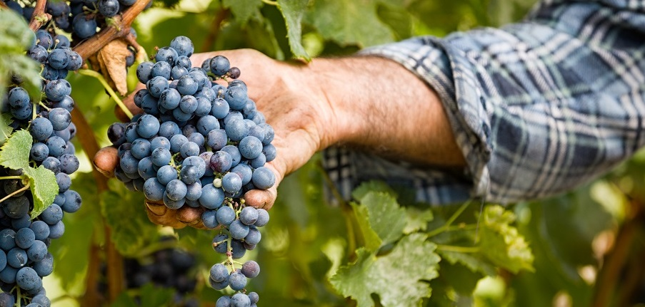 Graciano, an amazing grape variety