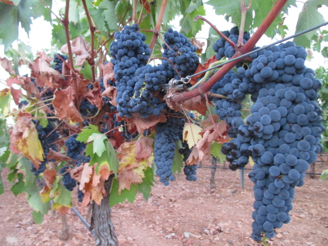 Very high expectations for the harvest despite the frosts and drought