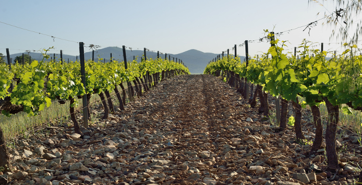 Rows of the grapevines are on the clay silt soil in the background of the remote mountains.