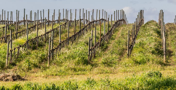 View of vines in early spring in Alentejo region, Portugal.