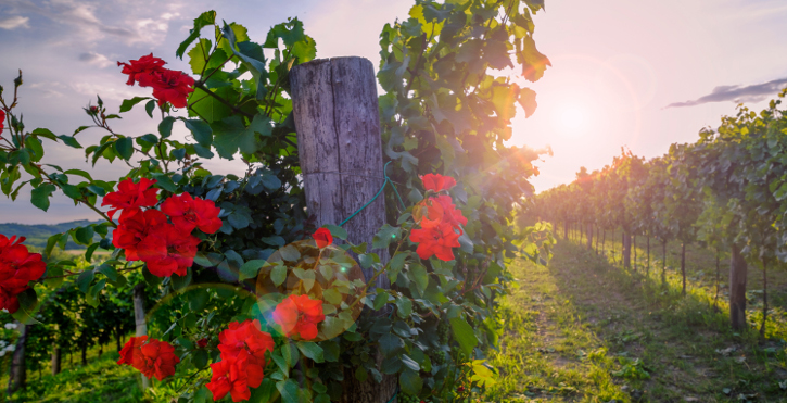 ¿Por qué plantamos rosas en los viñedos?