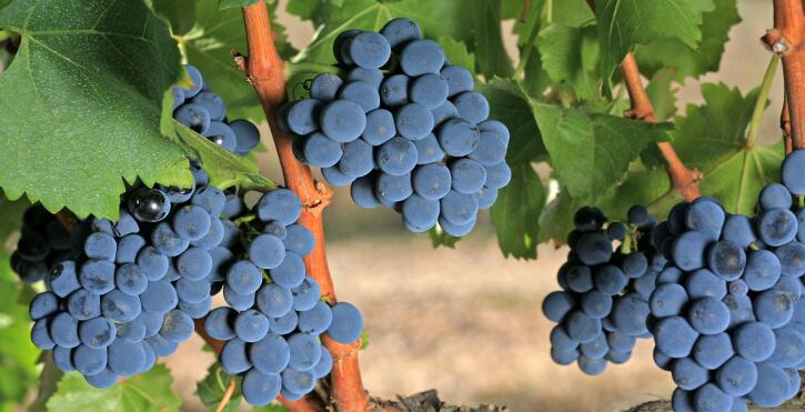 10 datos indispensables sobre la uva garnacha